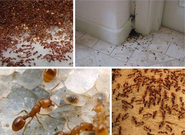 От большого количества муравьев очень трудно избавиться
