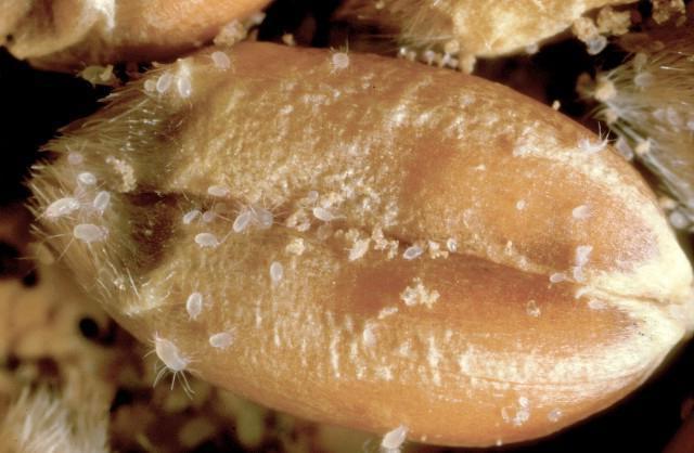 Зерно пшеницы, зараженное мучным клещем