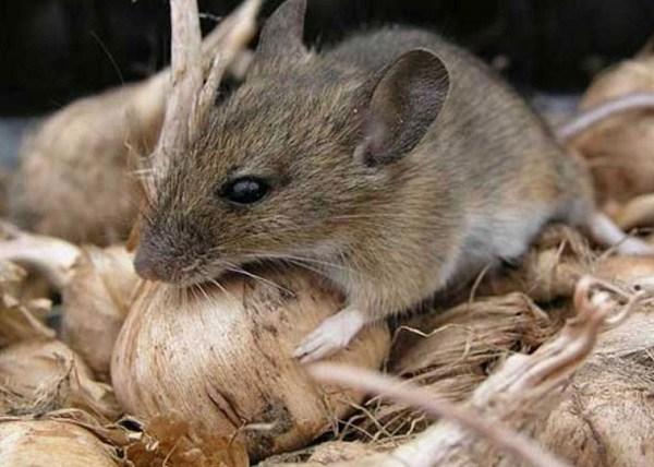 Крысы и мыши являются первым источником появления мучного клеща