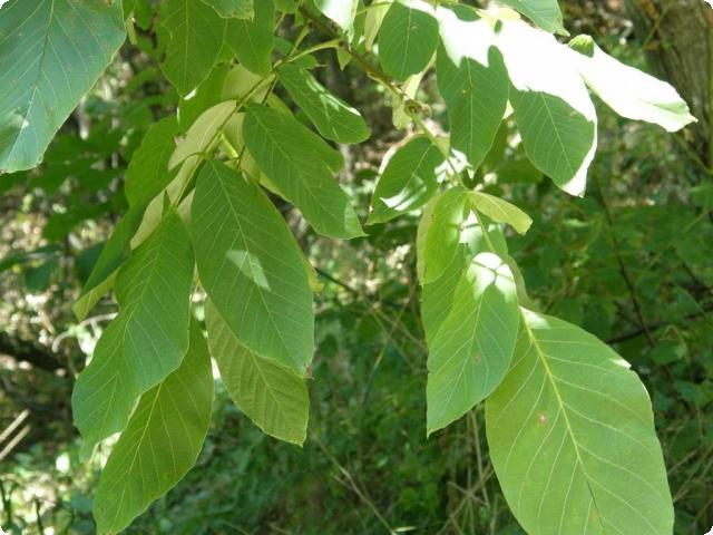 Свежие листья грецкого ореха отпугнут моль