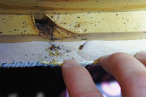 Гнездо клопов, обнаруженное в кресле
