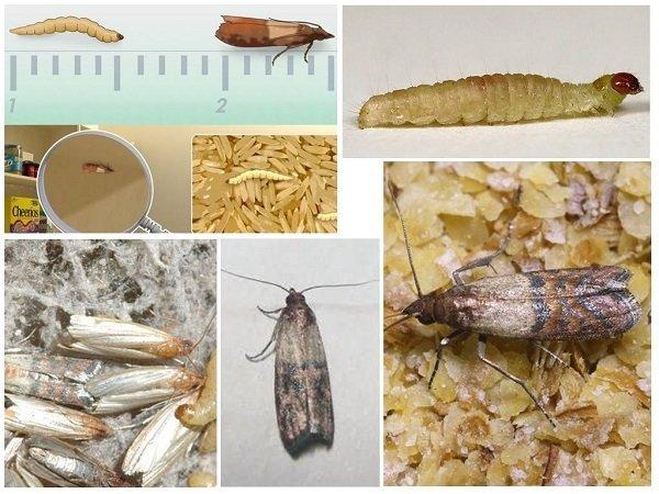 Взрослые особи и личинки моли