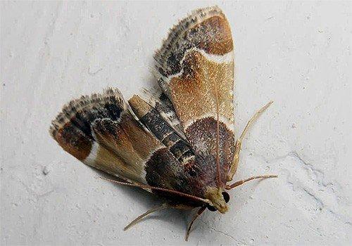 Взрослая бабочка пищевой моли