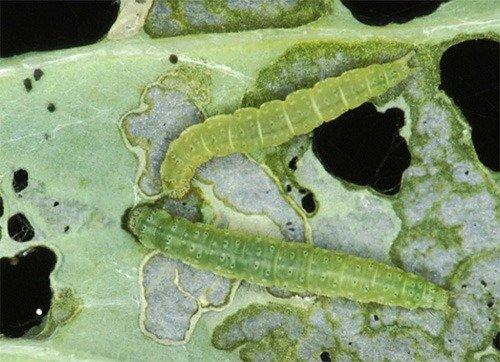 Личинка капустной моли на листе капусты