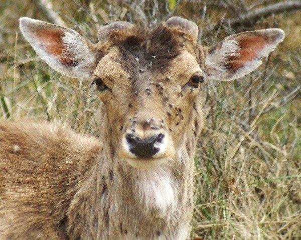 Самка оленя, облепленная лосиными блохами