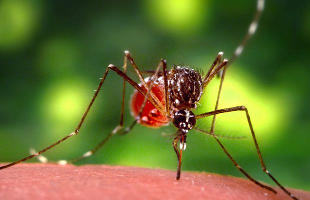 Комар, налитый кровью