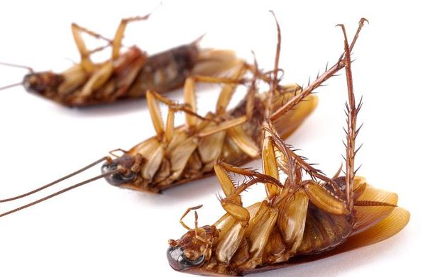 Тараканы на лапках разносят отраву по всем гнездам
