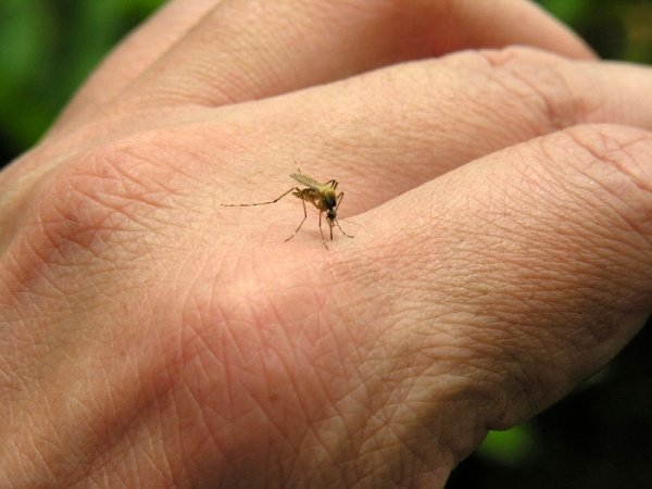 Комариные укусы могут быть опасны для человека
