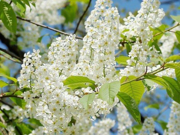 Запах цветущей черемухи является природным отпугивателем для комаров