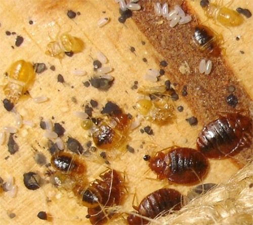 Яйца, личинки и взрослые особи постельного клопа