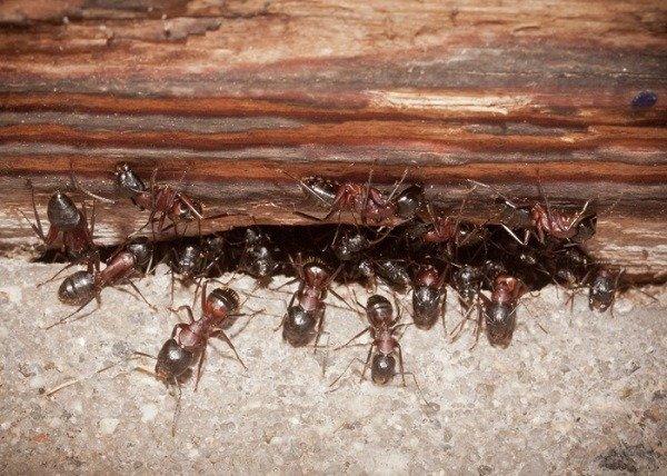 Обнаружить гнездо муравьиной колонии подчас очень нелегко