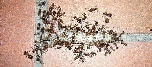 Домовые муравьи-воры