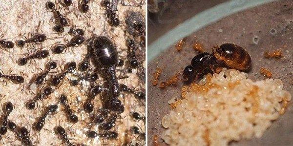Черные и красные муравьи
