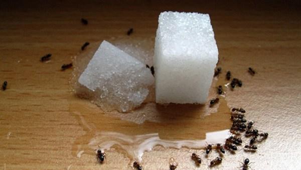 Оставленные на столе сладости привлекают муравьев