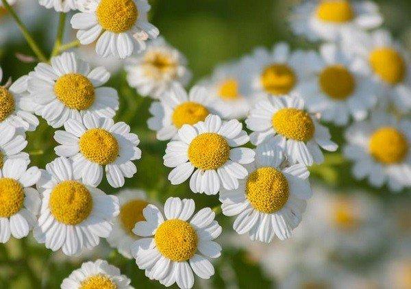 Пиретрум производят из цветков ромашки долматской