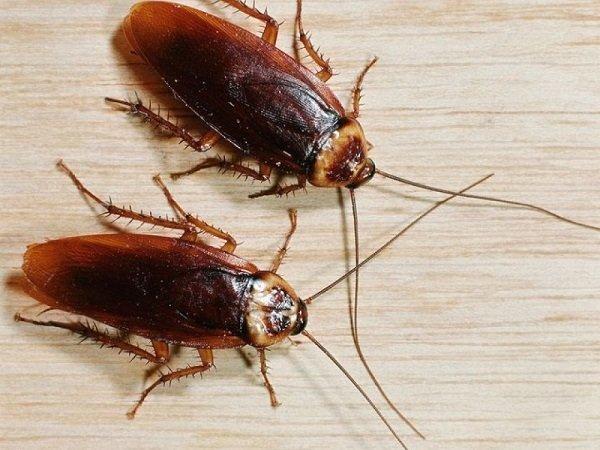 Тараканы от голода могут нападать друг на друга