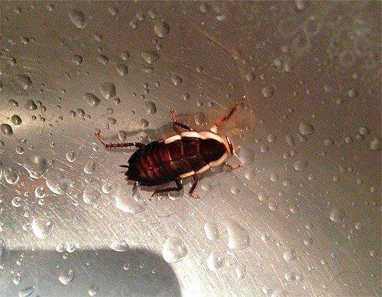 Таракану достаточно пить воду и он сможет долго прожить без еды