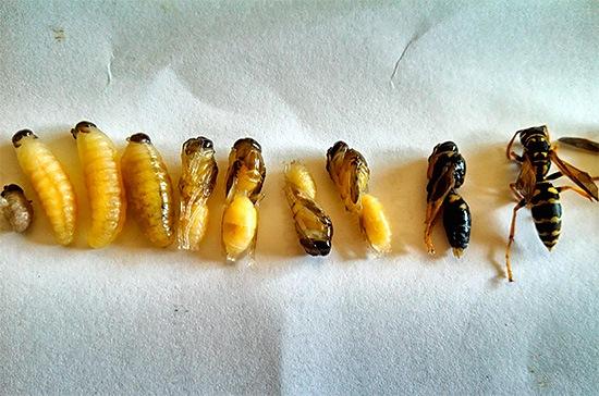 Стадии развития осы - от личинки до взрослого насекомого