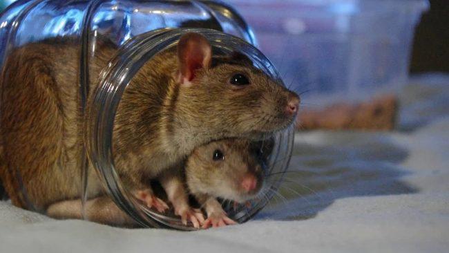 Как поймать крысу в курятнике