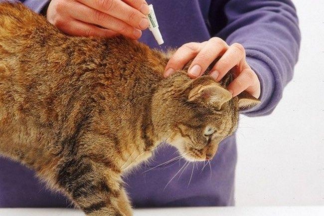 Как прогнать блох у кошки
