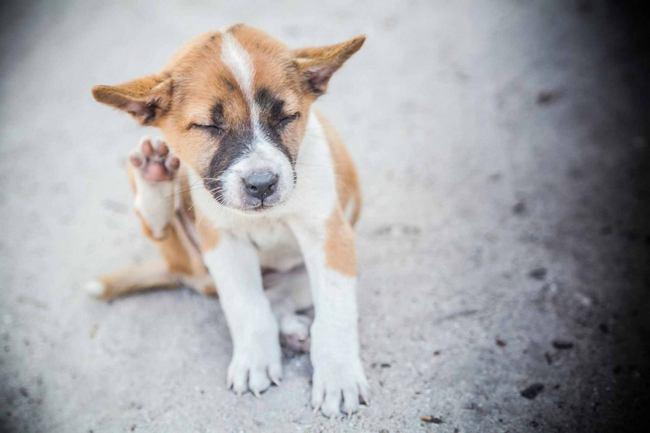 Как быстро избавиться от блох у собаки: Что делать и чем обработать 2
