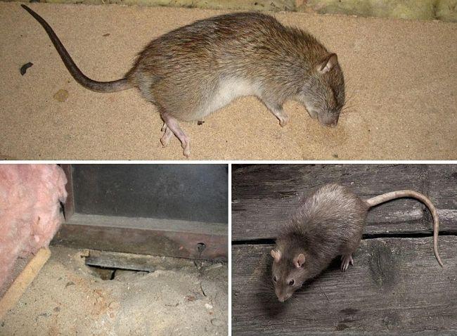 Как избавиться от мышей и крыс в квартире