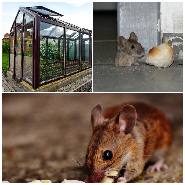 Растения от мышей на даче