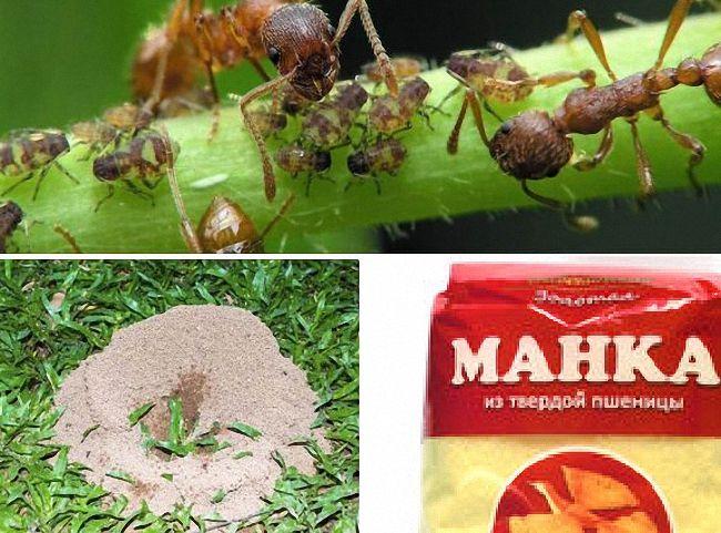 Манка от муравьев - отзывы и инструкция