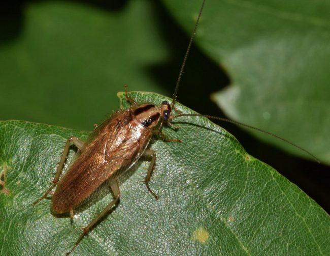 Рыжий таракан: виды, устойчивость, как размножаются