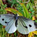 вредитель - бабочка капустница