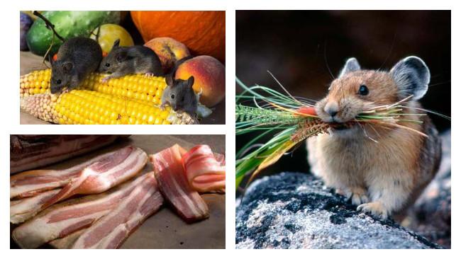 Лучшая приманка для крыс и мышей