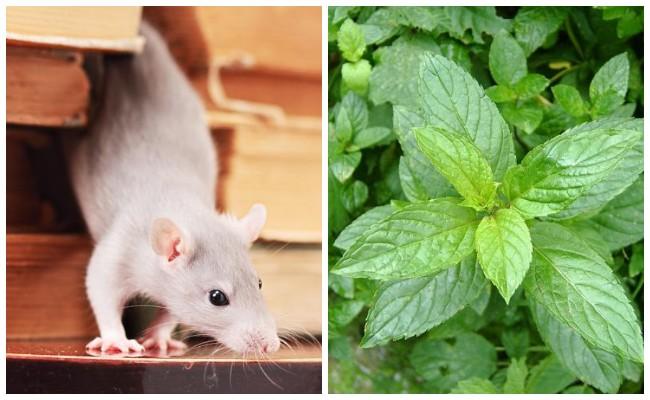 Как избавиться от крыс без яда