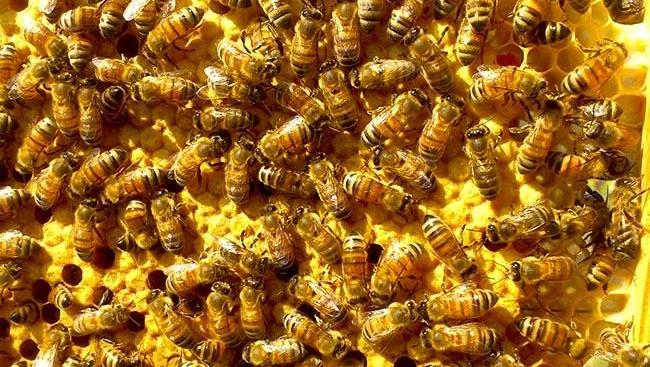 Виды общественных пчел рода APIS