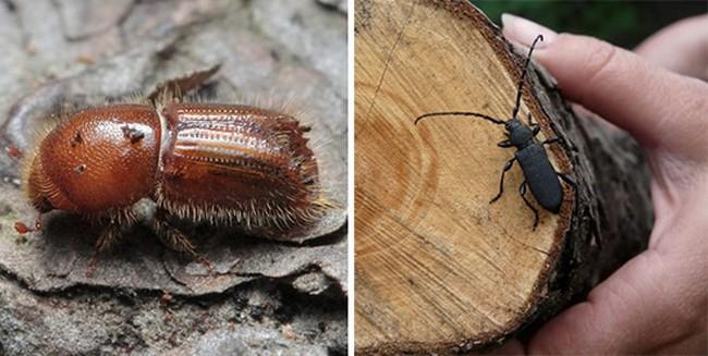 Короеды в деревянном доме — описание как избавиться от жука-точильщика. Советы как удалить навсегда опасных паразитов (105 фото)