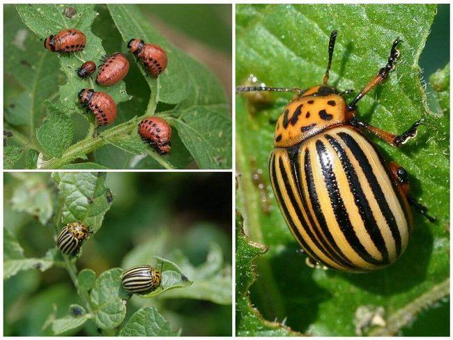 Ядохимикаты от колорадского жука